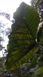 Love this leaf - a natural umbrella, with 4ft radius